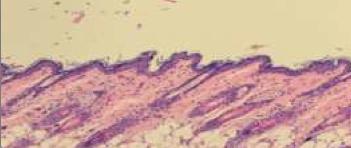4p-pharma-preclinical-inflammatory-model-histology