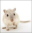 4p-pharma-mouse-preclinical-infectious-model